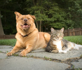 picture of cat dog  - dog and cat relaxing in the backyard - JPG