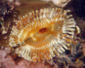 Beautiful Underwater Brown Fanworm Or Featherduster, Utila, Honduras
