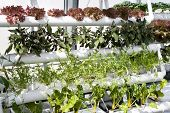 vegetables hydroponics in greenhouses.