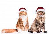 Portrait of Maine Coon kittens in red Christmas Santa hat. Funny cute cats dressed as Santa Claus lo poster