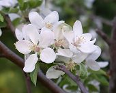 Isolated Apple Blossoms In Spring In New York