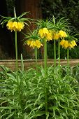 Tall Yellow Fritillaria