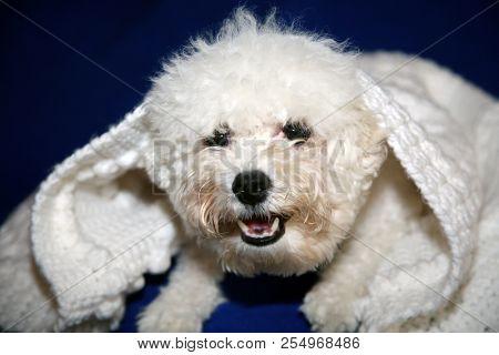 poster of Dog under quilt. White dog under white baby blanket. white dog under white quilt on blue velvet. dog