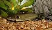 Catfish In Aquario.
