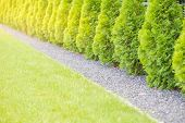 Fuzzy Background Of Green  Thuja Garden Fence. poster
