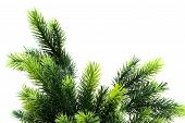 picture of pine-needle  - Close up of fir tree brach isolated on white - JPG