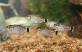 School Of Red Eye Tetra Fish.