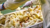 Baby Chickens Just Born On Tray, Poultry Business. Chicken Farm Business With High Farming And Using poster