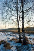 Winter Birch-Tree
