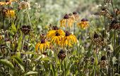 Flowers Of Echinacea Paradoxa Fading On The Flowerbed. Autumn In The Garden, Flowers Fade poster