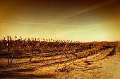 vivid vineyard landscape
