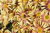 crisantemo dorado