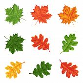 Green, Red And Yellow Leaves Isolated On White Background. Set For Seasonal Natural Decor.leaf Green poster