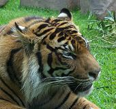 Sumatran Tiger Male Head