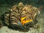 stock photo of crustations  - underwater giant clam - JPG