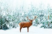 Beautiful Male Noble Deer And Christmas Tree In The Snow In The Winter Forest. Winter Natural Backgr poster