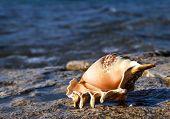 Shell of the Red Sea, gulf of Aqaba, Eilat, Israel