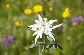 Edelweiß Leontopodium alpinum