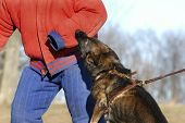 stock photo of felons  - German Shepherd attack dog trainging by biting a bite suit - JPG