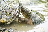 Snapping Turtle Attacking Fish Basket