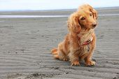 foto of long hair dachshund  - Dachshund on the beach - JPG