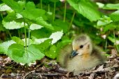 picture of baby goose  - Baby goose sitting on the ground with weeds in the back - JPG