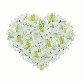 picture of tuberose  - A Beautiful Heart Shape of White Tuberose Flower on A White Background - JPG
