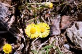 Two Spring Coltsfoot Flower