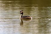 stock photo of great crested grebe  - Great Crested Grebe swimming on lake in Sessex - JPG