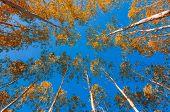 Yellow Leaves Of Eucalyptus Blue Sky