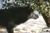Black Wolf Profile