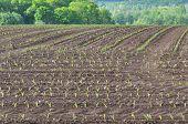 Field Of Corn Seedlings