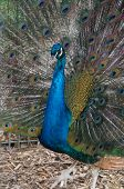 image of peahen  - Our male peacock showing his feathers to his peahens - JPG