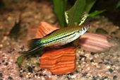 image of diskus  - Xyphophorus helleri swordtail sweatwater fish in aquarium