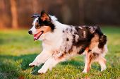 image of australian shepherd  - australian shepherd dog running outdoors in summer - JPG