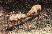 Wild Deer Were Fighting To Wrest Area.