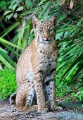 picture of bobcat  - Wild Bobcat (Lynx rufus) relaxing in Florida