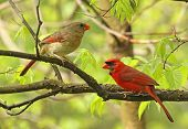 stock photo of cardinal  - Male and female northern cardinal Cardinalis cardinalis perched on a tree branch - JPG