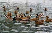 Mallard Ducks Hunt On Park Pond