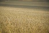 Golden Wheat Field Hertfordshire Uk