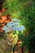 stock photo of dainty  - Small blue dainty flowers with blurred background - JPG