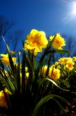 Virginia Spring Daffodils - Narcissus