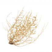 Dry Tumbleweed Bush