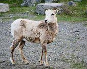 Ewe of big horn sheep