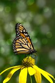 image of monarch  - Close - JPG