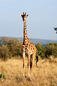 Maasai or Kilimanjaro Giraffe  grazing in the beautiful plains of the masai mara reserve in kenya af