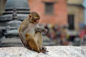 Macaque monkey, at Swayambhunath monkey temple. Kathmandu, Nepal
