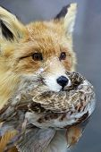 Portrait Of A Fox. Fox Keeps Quail In Its Mouth (vulpes)