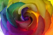 Rainbow Happy Rose Flower