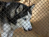 Siberian Husky In The Aviary